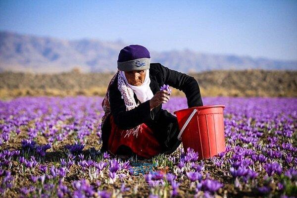 صادرات۱۱۸میلیون دلاری زعفران 5 | آفکو