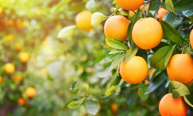 صادرات پرتقال 21 | آفکو