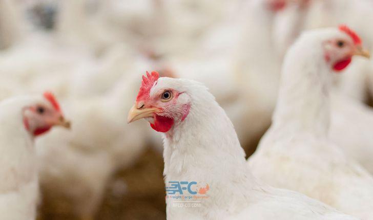 ممنوعیت واردات ماکیان ایرلند از سوی چین به علت آنفلوانزای پرندگان 3 | آفکو