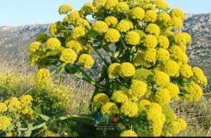 صادرات گیاهان دارویی 9 | آفکو