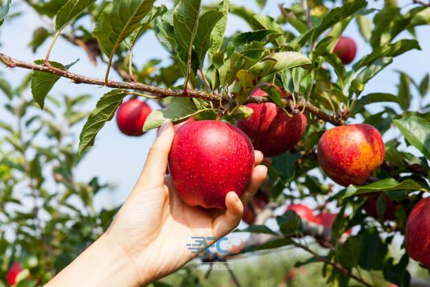۶۵۰ هزار تن سیب در خطر از بین رفتن 7 | آفکو