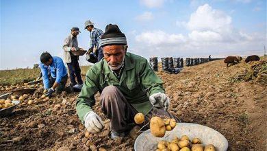 تصویر از نکات مهم برای صادرات سیب زمینی