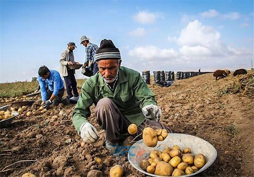 نکات مهم برای صادرات سیب زمینی 5   آفکو