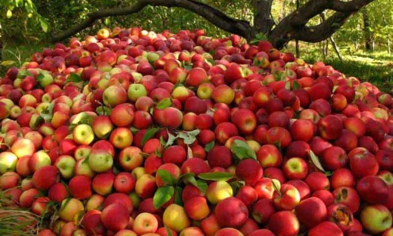 صادرات سیب 7   آفکو
