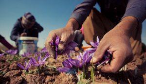 قیمت زعفران در امارات 13 | آفکو