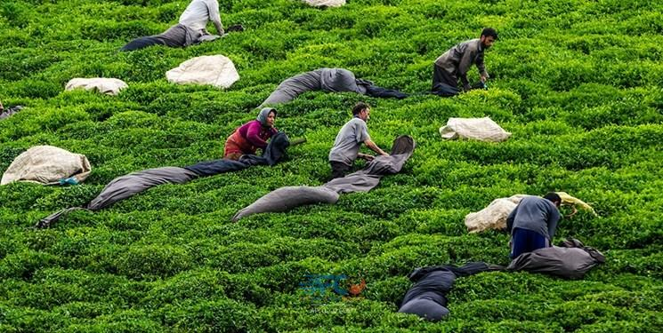 واردات چای 9 | آفکو