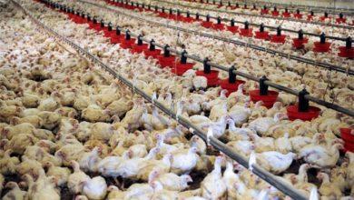 تصویر از صادرات پای مرغ تجارتی پر سود