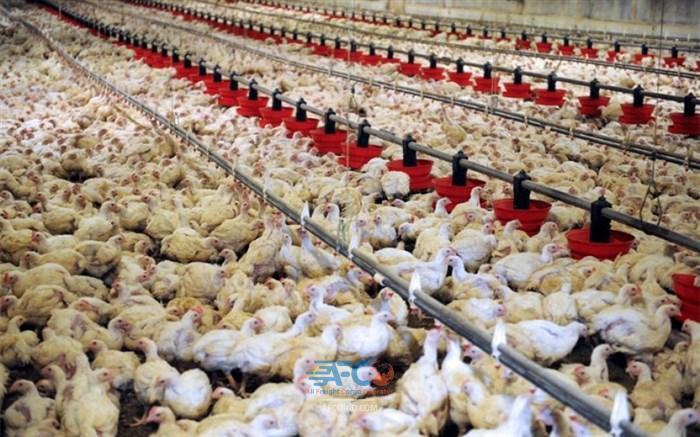 صادرات پای مرغ تجارتی پر سود 5   آفکو