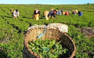 واردات چای 11 | آفکو